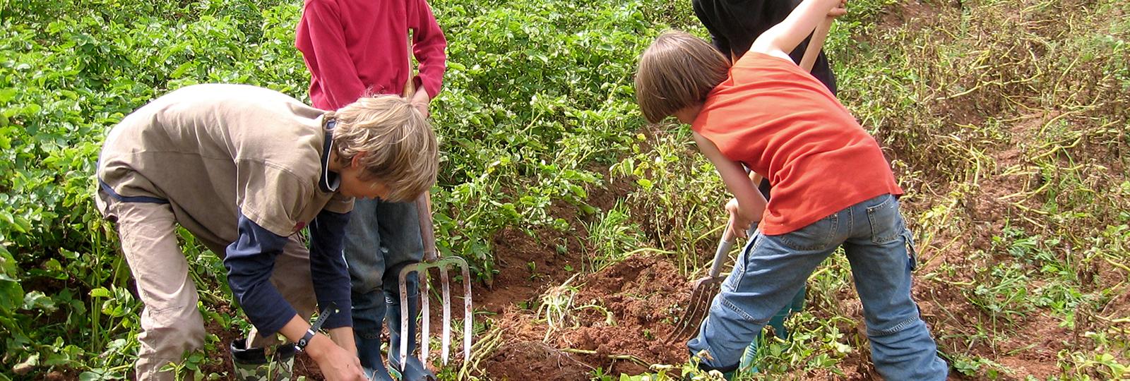 Kinder bei der Kartoffelernte, Bildquelle: Dr. Ulrich Hampl