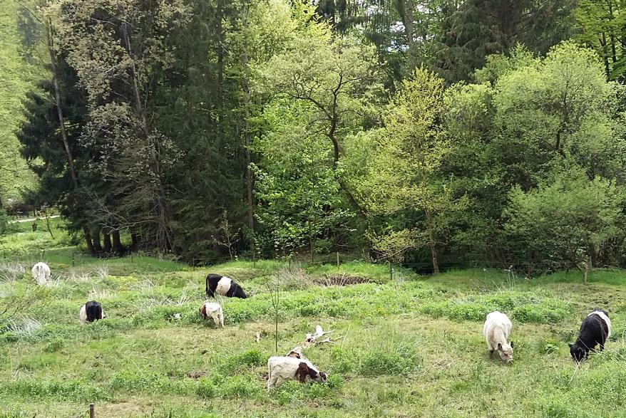 Kühe im Karlstal