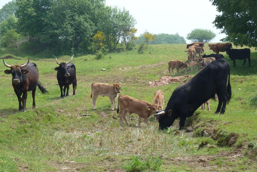 Grasende Rinder auf der Schmidtenhöhe