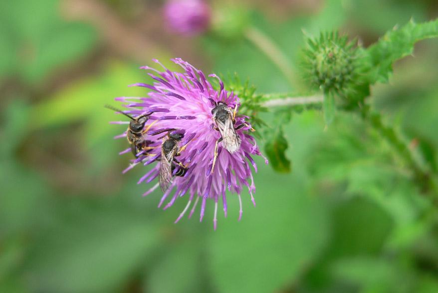 Wildbienen an Blume