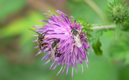 Wildbienen an Blume